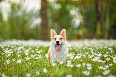 Может ли собака быть обучена на детекторе коронарного вируса?